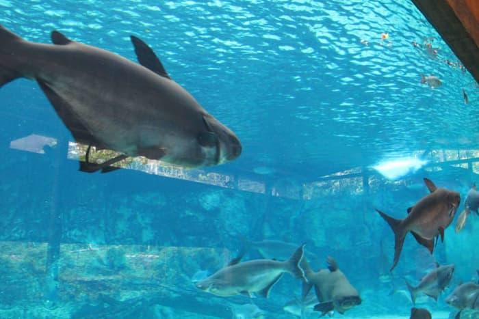 Bể cá khổng lồ bên trong River Safari