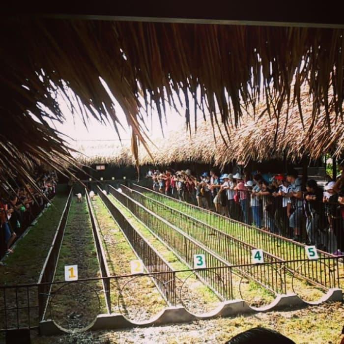 Xem đua heo ở Làng du lịch Mỹ Khánh