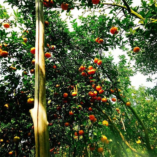 Vườn quýt Lai Vung