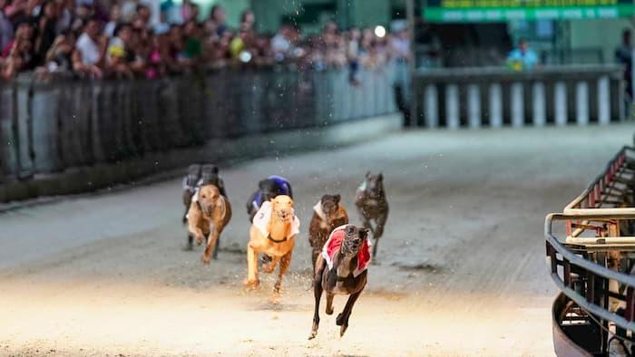 Những chú chó tham gia cuộc đua
